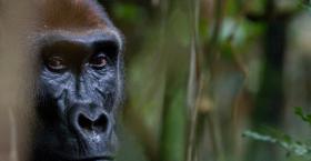 Lowland gorilla, Congo